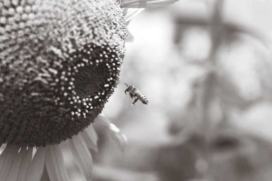 Dandelion Blackandwhite Bw_lovers Black & White EyeEm Gallery Monochrome Pentax Oldlens BW Collection Bw_collection Pentaxk7 Flower Photography Bwflower Jupiter9 Helios 44-2