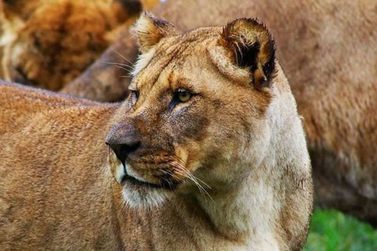 Mammal Animals In The Wild Animal Themes One Animal Close-up Lion - Feline Brown No People Outdoors Lioness Feline Nature Day ZooKeeper ZooLife Zoology Zoophotography Zoo Photography  Zoo Photography  Zoo Animals  Lion Cats Safari Animals Whisker Safaripark