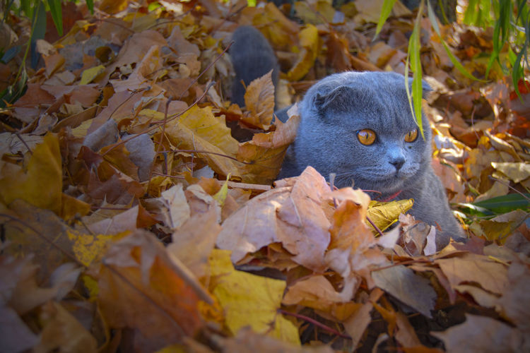 Leaf Autumn Plant Part One Animal Animal Themes Animal Mammal Animal Wildlife Leaves No People Animals In The Wild Day Change Nature Close-up Vertebrate Outdoors Looking Land Animal Head  Whisker Cute Cat Autumn Beauty In Nature