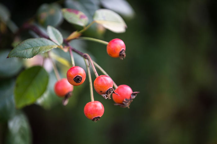 Beauty In Nature Botany Branch Close Up Close-up Dog Rose Focus On Foreground Hanging Hip Leaf Nature November Plant Red Rose Hip Rose Hips Stem Twig Autumn Autumn Colors Fall Beauty Fall Fall Colors Colour Of Life