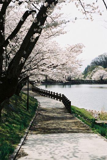 茶屋沼 サクラ Chaya Swamp Sakura Canon Ftb Film Photography