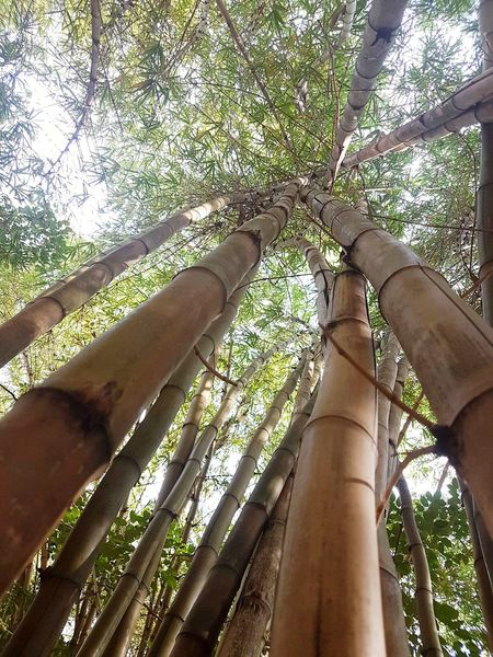 Tree Low Angle View Nature Growth Outdoors Sunlight Human Body Part Human Hand Tree Trunk Day Tranquility Branch Beauty In Nature Sky Close-up People Bamboo Grove Bamboo Yellow Bamboo Bamboo Forest Nature Hanging Out Miles Away Travel Destinations Uniqueness