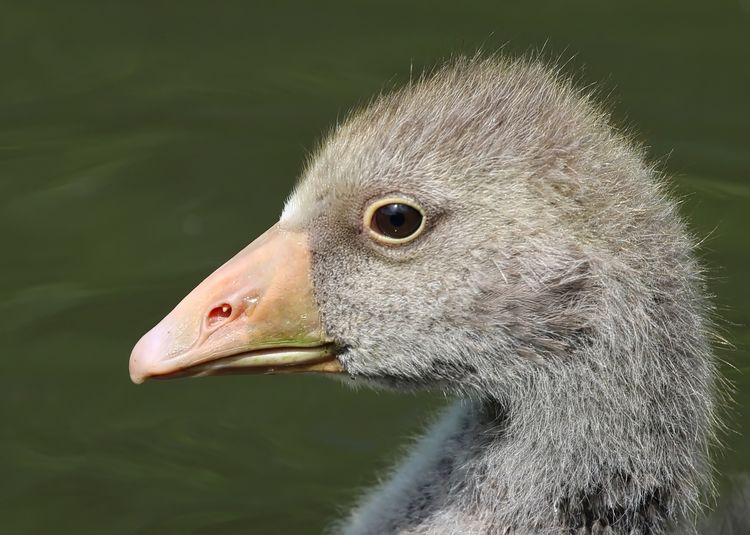Greylag gosling Animal Animal Body Part Animal Eye Animal Head  Animal Themes Aquatic Avian Beak Beauty In Nature Close-up Day Focus On Foreground Nature No People Outdoors Part Of Pelican Portrait Water White Wildlife Zoology