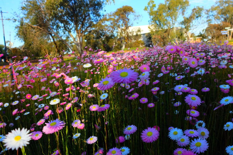 Close-up of pink flowers blooming on field against sky