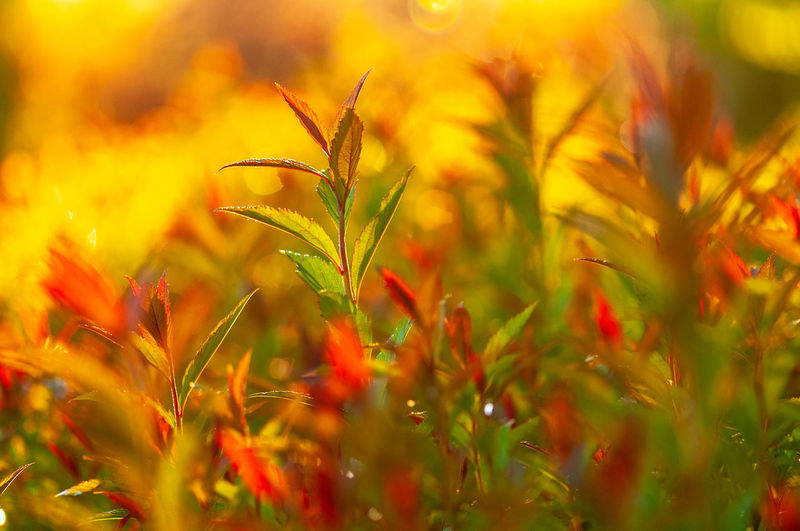abstract japanese spirea japonica new leaves in a spring garden in the sunset. blurred and artistic image vivid and colorful Abstract Amazing Artistic Autumn Background Beautiful Beauty Bloom Blossom Blue Blured Botanical Botany Branch Bright Bush Closeup Color Colorful Cottage Environment Flora Floral Flower Garden Green Growing Hedge Japanese  Japonica Leaf Leaves Meadow Natural Nature Open-air Orange Outdoor Park Pink Plant Red Season  Shrub Spiraea Spirea Spring Summer Texture Tree Tropical Yellow Growth Selective Focus Beauty In Nature Close-up Freshness No People Field Land Green Color Vulnerability  Outdoors Fragility Flowering Plant Day Sunlight Plant Part