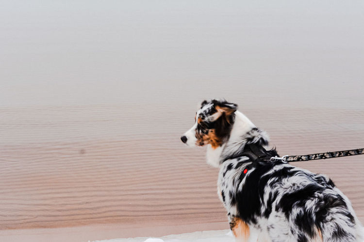 View of a dog on snow covered beach and a calm sea