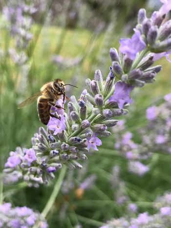 Flower One Animal Animal Themes Insect Animals In The Wild Fragility Purple Nature Bee Pollination Petal Animal Wildlife No People Growth Day Plant Beauty In Nature Freshness Close-up Outdoors