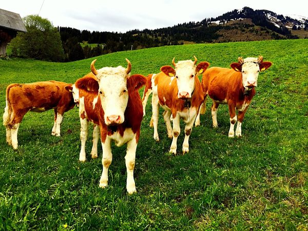 Cows Cow Animal Themes Green Color Landscape No People Nature Outdoors