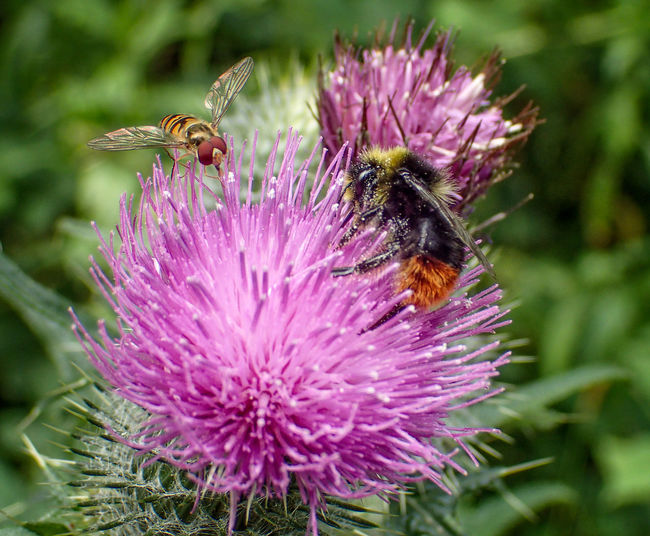 Animal Themes Animals In The Wild Beauty In Nature Bee Bumblebee Day Flower Flower Head Fragility Freshness Growth Honey Bee Hoverfly Insect Nature No People One Animal Outdoors Petal Plant Pollination Purple Symbiotic Relationship Thistle Wildlife