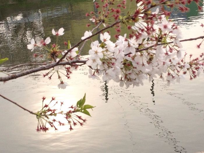 Sakura 桜 IPhone 4S Reflection