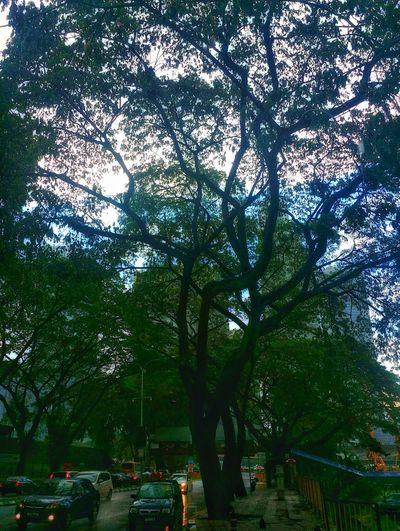 Big Trees Nature Nature Photography After Rain After The Rain Big Tree Blue Sky Street Streetphotography View Tree Branch Sky Green Color High Street Street Scene EyeEmNewHere A New Perspective On Life