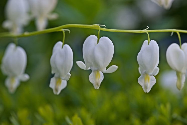 White flowers with the shape of a heart Beautiful Beauty In Nature Blooming Close-up Day Delicate Environment Flower Fragility Freshness Growth Lamprocapos Spectabilis Love Nature No People Outdoors Pedal Plant Scented