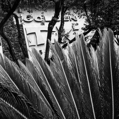 Palm Leaf Ross