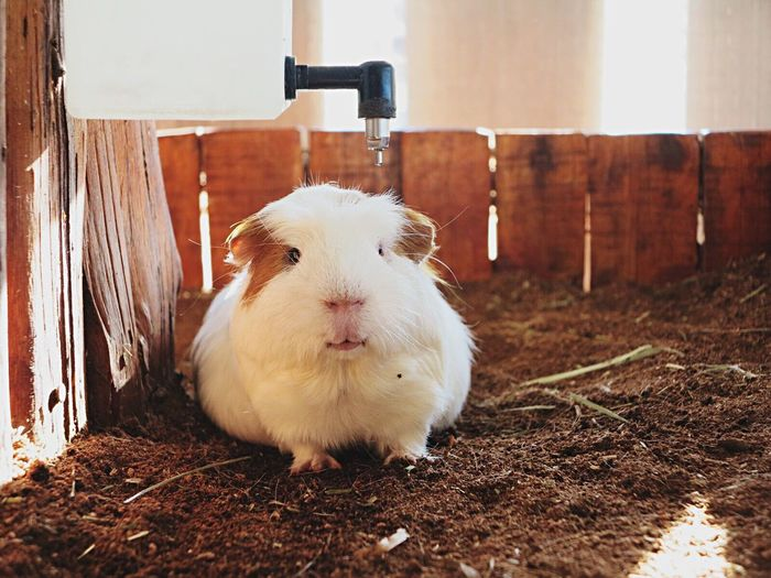 Close-up of guinea pig on dirt