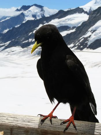 Alpine Chough Animal Themes Animal Wildlife Animals In The Wild Beauty In Nature Bird Chough Close-up Cold Temperature Day Full Length Glacier Jungfrau Mountain Nature No People One Animal Outdoors Perching Portrait Snow Snowcapped Mountain Swiss Alps Switzerland Winter