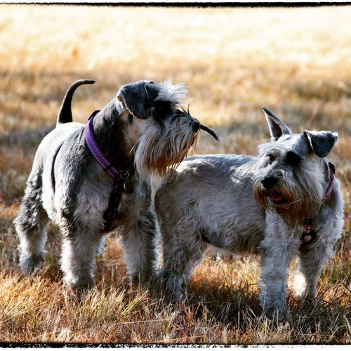 Dog Pets Animal Themes Grass No People Outdoors Day Schnauzer Togetherness Domestic Animals Walking