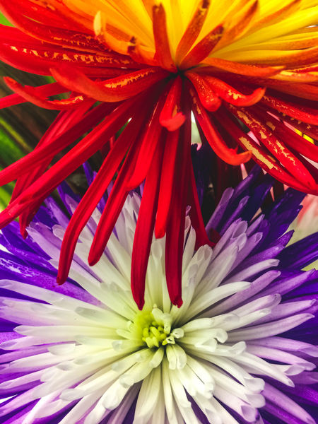 Backgrounds Beauty In Nature Blooming Close-up Day Flower Flower Head Fragility Freshness Full Frame Growth Nature No People Outdoors Petal Plant Purple Purple Flower Red Red Flower Spring Texture
