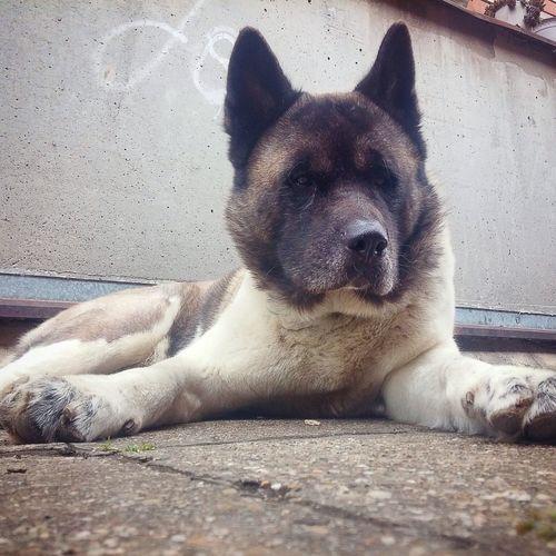 Akita Akitas Akita-inu Akita Love Dog Dog Love Akitalover American Akita Akita Dog One Of My Favorite Akitas :)