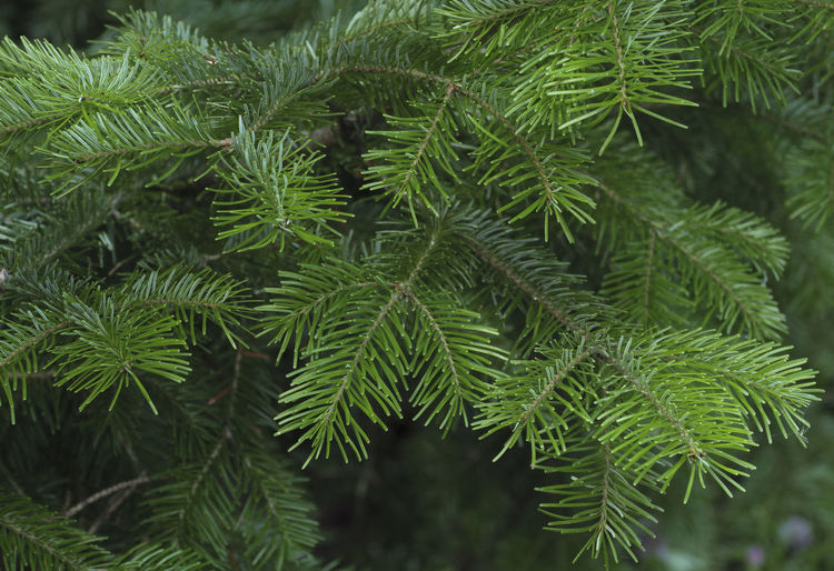 Spruce tree branches close-up. Christmas background. Beauty In Nature Branch Close-up Coniferous Tree Day Fir Tree Focus On Foreground Freshness Green Green Color Growth Leaf Nature Needle - Plant Part No People Outdoors Pine Tree Plant Plant Part Tranquility Tree Tree; Green; Spruce; Fir; Environment; Forest; Nature; Tree Branch; Park; Plant; Forestry; Needle; Pine; Background; Decoration; Twig; Wooded; Urge; Lush; Trunk; Botany; Vegetation; Timberland; Detail; Coppice; Pine Forest; Wood; Coniferous; Conifer; Xmas
