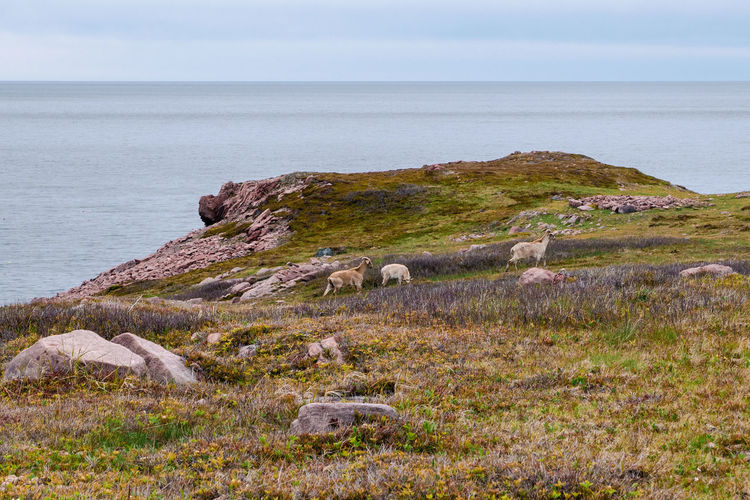 3 mountain goats nears the Atlantic coast in Cape St. Lawrence, Nova Scotia, Canada. Goat Mountain Goat Animal Animal Themes Beauty In Nature Coastal Feature Coastal Landscape Domestic Domestic Animals Herbivorous Horizon Horizon Over Water Land Mammal Nature No People Outdoors Pets Plant Scenics - Nature Sea Sky Tranquil Scene Tranquility Water