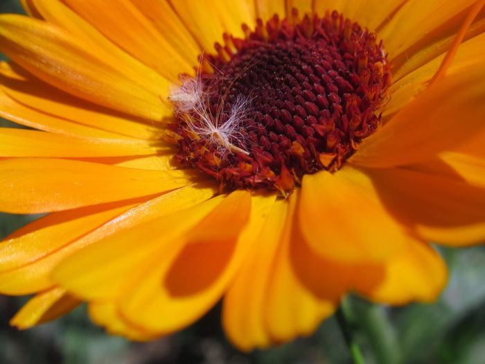 Flor Daisy Nature Love Nature EyeNatureLover Eyengallery Orange Color Flower Head Black-eyed Susan Flower Yellow Springtime Petal Uncultivated Insect Pollen Sunflower Pollination Symbiotic Relationship Gerbera Daisy Blooming