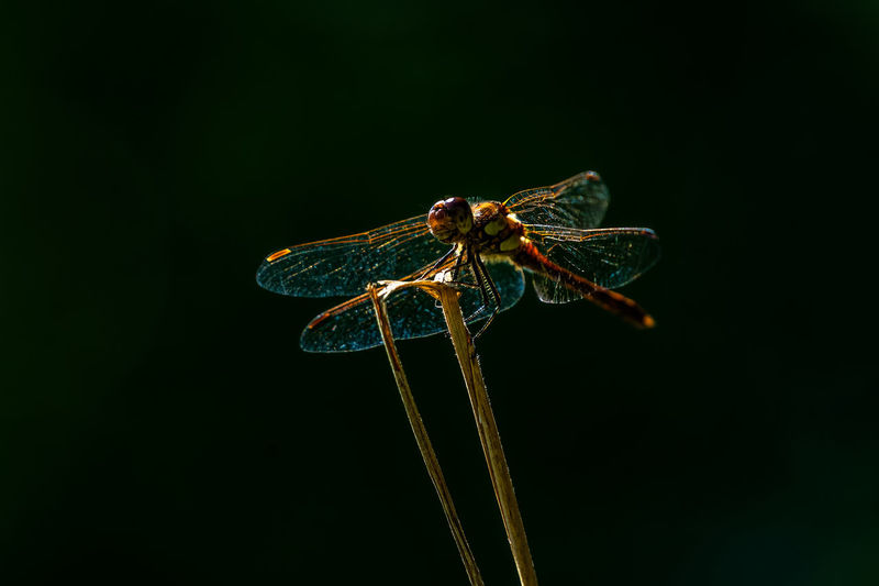 Close-up of dragonfly over black background