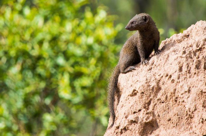 Dwarf mongoose Mongoose EyeEm Selects Animal Wildlife Animals In The Wild One Animal Animal Nature Outdoors Meerkat