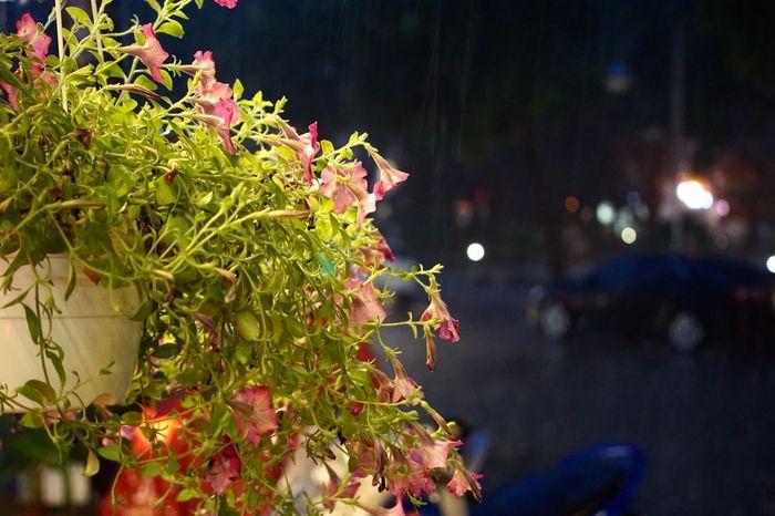 Raining outside ! Raining Outside Rainging Raing In The Dark EyeEm Vietnam Flower Photography
