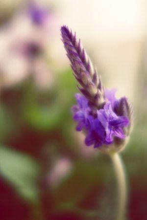 おはようございます、ベランダ便り。ラベンダーです Plants EyeEm Flower Flowers Flower Flowerporn