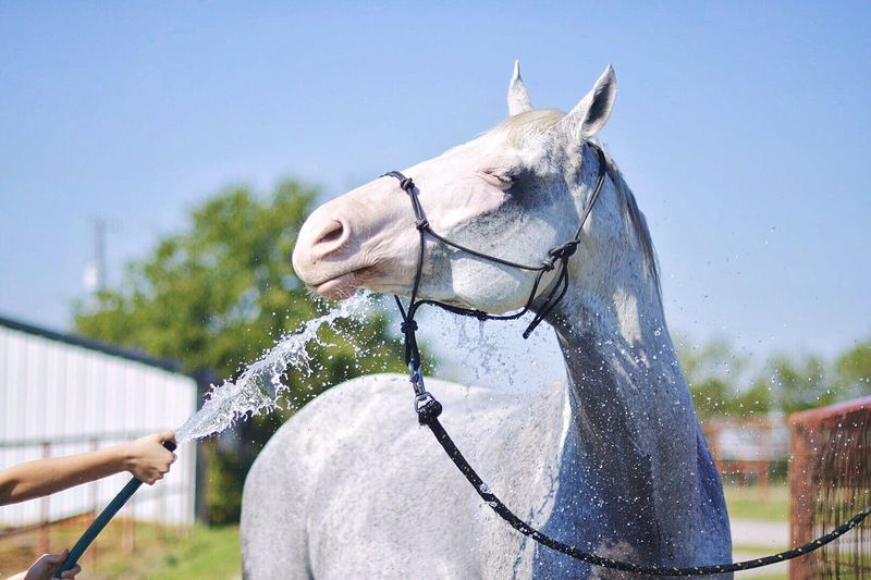 White Horse Being Washed At Farm