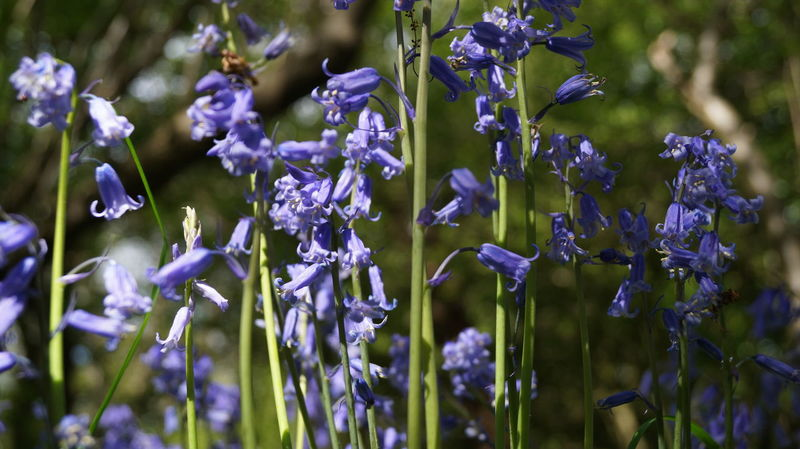 Bark Beauty In Nature Blooming Bluebell Bluebell Wood Close-up Day Flower Fragility Freshness Growth Nature No People Outdoors Plant Purple Spring Woods