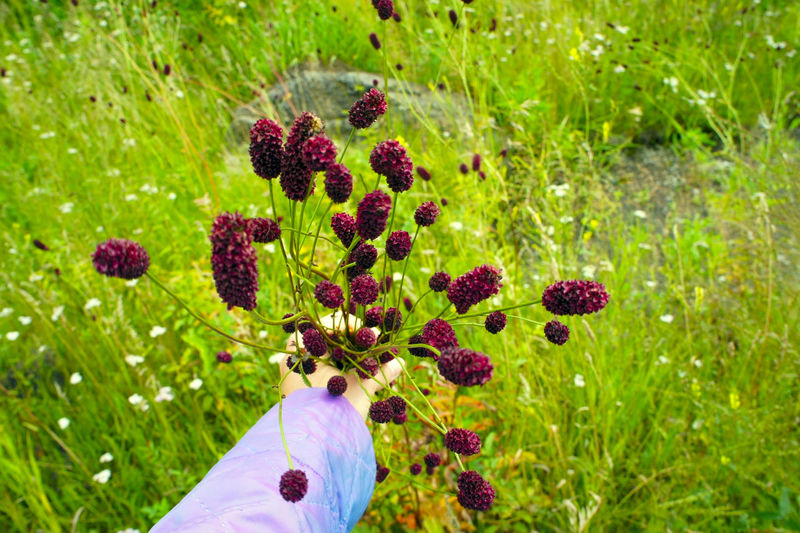 Hand holding a bouquet of flowers burnet drug on a green background Bouquet Cropped Field Flower Flower Head Grass Growth Healthy Herb Herbal Holding Meadow Medicine Nature Part Of Personal Perspective Pink Color Plant Purple Flower Sanguisorba Minor Showcase July Stem Unrecognizable Person People And Places