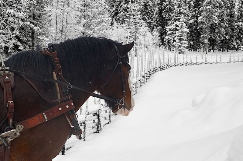 Horse in winter land Snow Cold Temperature Winter Domestic Animals Horse Animal Themes Working Animal Weather Horsedrawn Mammal Horse Cart One Animal Transportation Day Outdoors Nature No People Tree Frozen Nature Snowy Trees Snow Santa Claus Holiday Silent Fence Shades Of Winter
