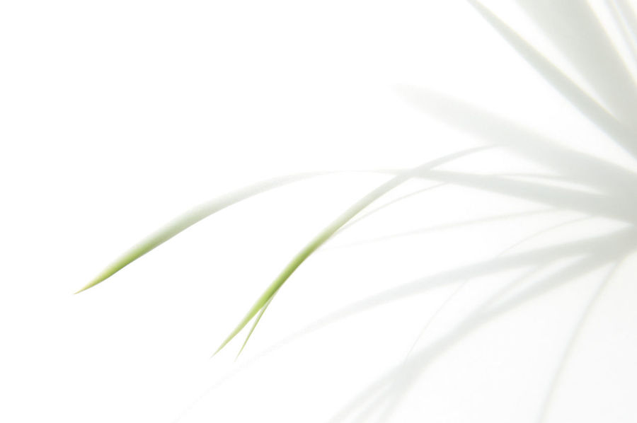 Schattengras_2018_05_10992 Grass Green Color Beauty In Nature Blade Of Grass Close-up Cut Out Day Fragility Freshness Green Color Grey Growth Indoors  Leaf Nature No People Plant Plant Part Shadow Softness Studio Shot White Background White Color