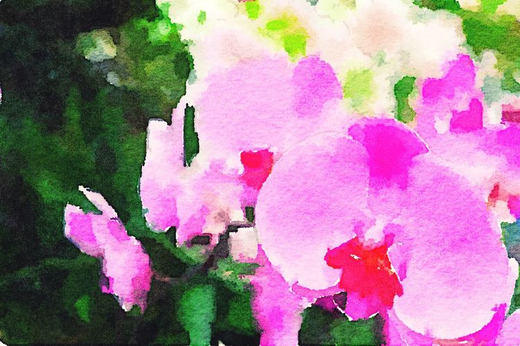 Watercolor painting of pink orchids. Cleveland Botanical Garden Watercolor Orchids