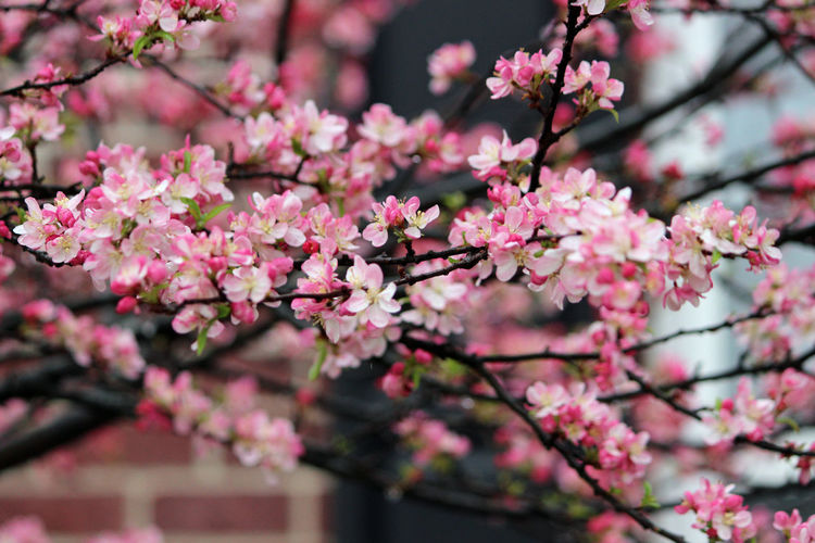 Beauty In Nature Blooming Blossom Branch Cherry Blossom Cherry Tree Close-up Enjoying Life Flower Focus On Foreground Fragility Freshness Growth Hanging Out In Bloom Low Angle View Nature Outdoors Petal Pink Pink Color Relaxing Taking Pictures Tree Twig