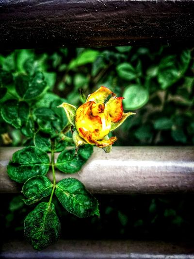 Plant Leaf Close-up Nature Beauty In Nature Rose🌹 Rose♥ Freshness Yellow Rose Click Rose - Flower Nexus 5 EyeEm Best Shots