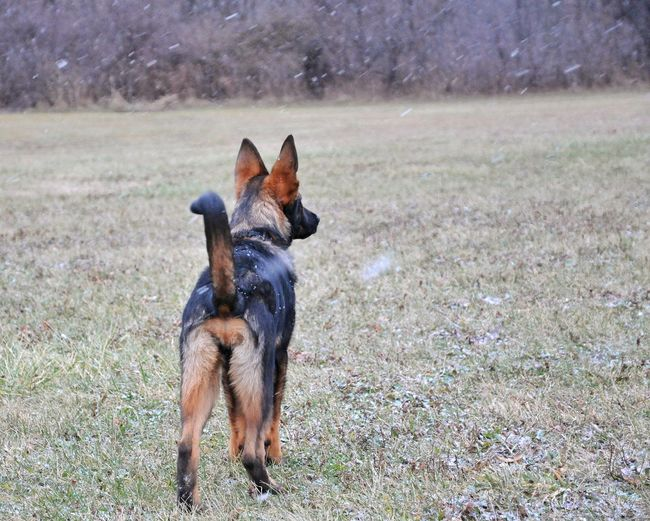 Working Dog My Pet German Shepherd Puppy German Shepherd Puppy Snow Winter Dog Pets Domestic Animals Animal Themes Outdoors Day Mammal Field Grass One Animal No People Nature