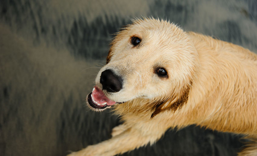 Golden Retriever dog at beach Animal Anthony Dog Golden Golden Retriever Odin Pet Retriever One Animal Canine Animal Themes Domestic Pets Domestic Animals No People Day Retriever Looking Close-up Animal Head  Wet Looking Up