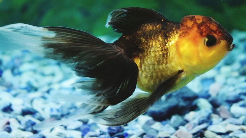 My aquarium goldfish - golden black colour Underwater Animal Themes Fish Beauty In Nature Aquarium Life Aquarium Photography Goldfish In Water Oranda Goldfish Nikonphotography Nikon_photography Macro Macro Photography Macro_collection Eyeemphotography EyeEm Gallery Eyeem Photography Getty Image-collection EyeEm Masterclass Eyeem4photography Eyeem Market Eyeem Collection Aquarium Close-up Spread Wings Fantail Fish