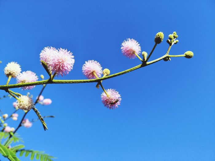 Low angle view of flowering plant against clear blue sky
