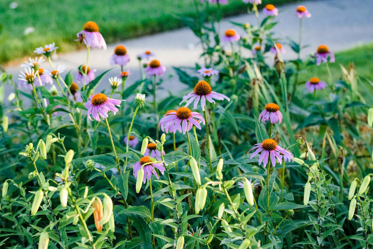 Coneflowers blooming alongside of tiger lilies in the garden