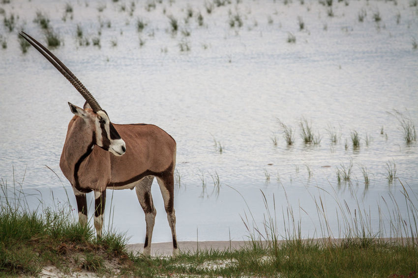 Going for a drink! Animals In The Wild Beautiful Beautiful Nature Nature Nature Photography Travel Traveling Wildlife & Nature Wildlife Photography Wildlife Photos Africa Animal Photography Animal Themes Animal Wildlife Animals Beauty In Nature Gemsbok Mammal Nature_collection Naturephotography Oryx Safari Safari Animals Wildlife Wildlifephotography