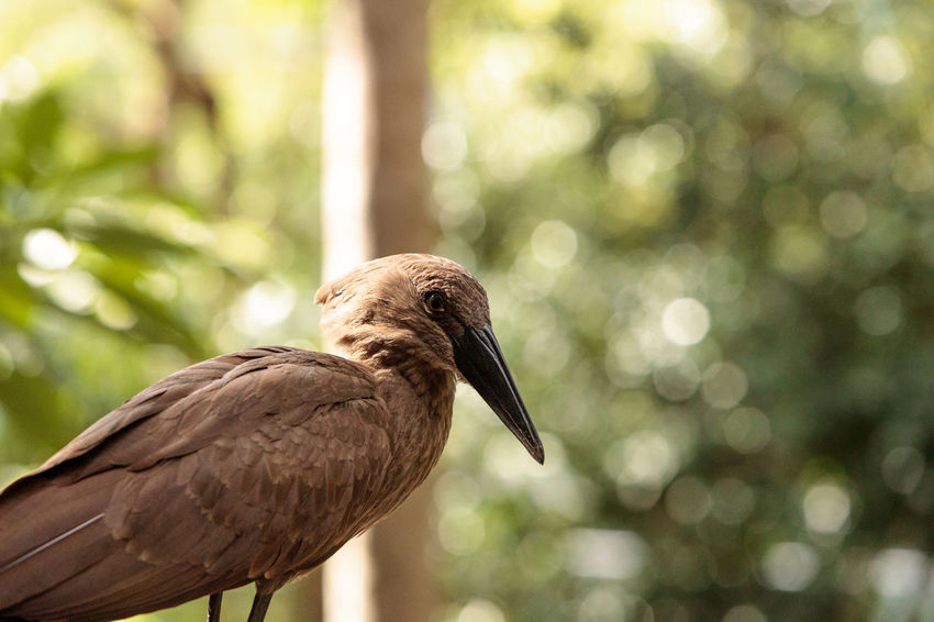 Hamerkop known as Scopus umbretta is a bird from sub-saharan Africa Africa Animal Wildlife Beak Bird Brown Day Hamerkop No People One Animal Outdoors Perching Scopus Umbretta Wildbird Wildlife