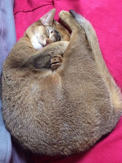 춘곤증인 고양 달이 :D Cat My Cat Cute Pets Abyssinian