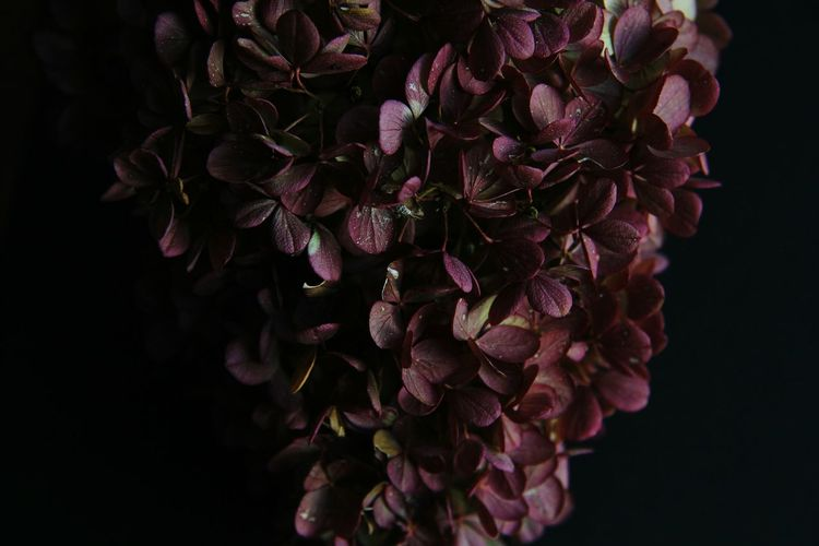 hydrangea EyeEm Best Shots EyeEm Nature Lover Macro Plant Vulnerability  Beauty In Nature Beautiful Purple Violet Flower Head Flower Black Background Purple Close-up Plant Flowering Plant Botanical Garden Botany Blossom Plant Life Focus Pistil In Bloom Autumn Mood