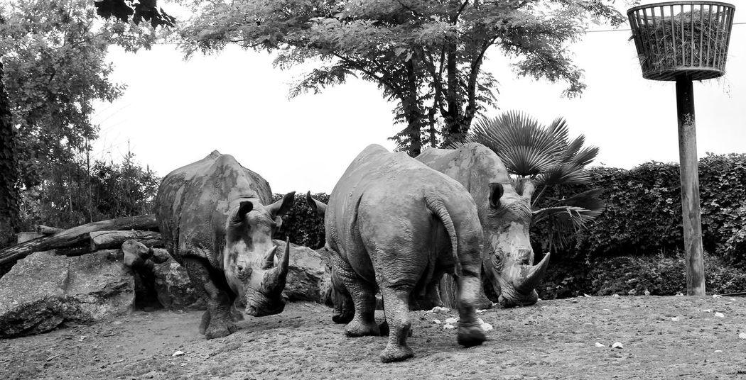 Apprendre La Photo Rhinoceros Zoo De Beauval Love Photography Passion Animaux ❤️ Noir Et Blanc 📷📷📷