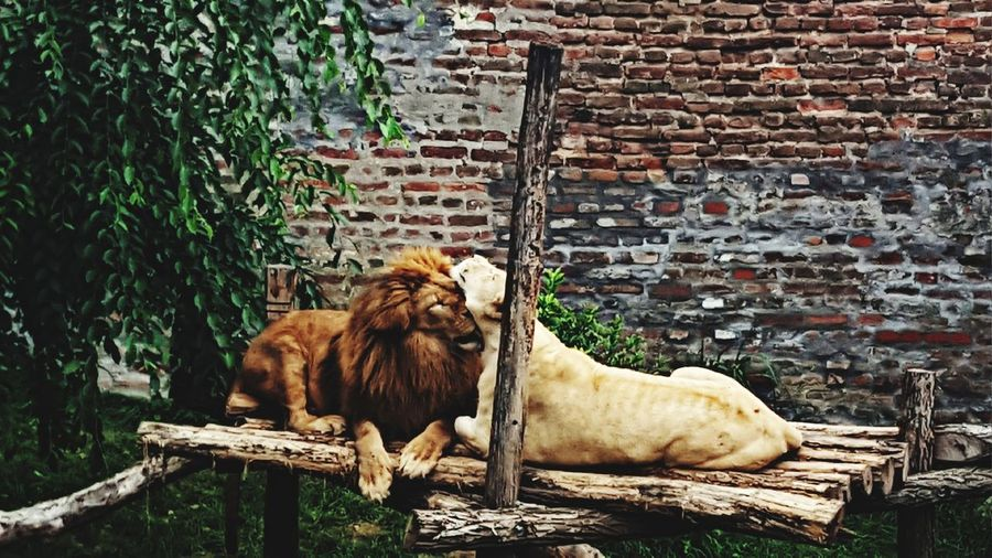 Cats relaxing against wall in zoo