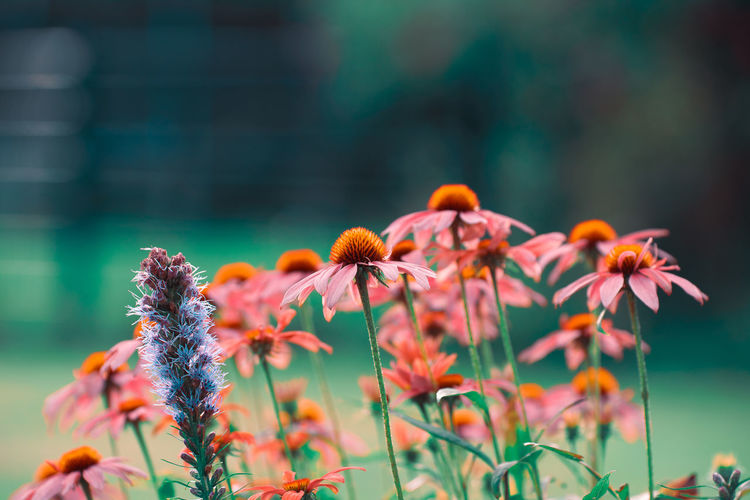 Rose and purple colored meadow flowers in front of green bokeh Flowering Plant Flower Plant Growth Beauty In Nature Freshness Vulnerability  Fragility Close-up Flower Head Inflorescence No People Focus On Foreground Petal Nature Selective Focus Day Coneflower Outdoors Orange Color
