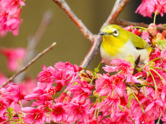 綠繡眼 Bird Flower